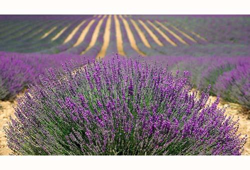 Lavender-Lavanda