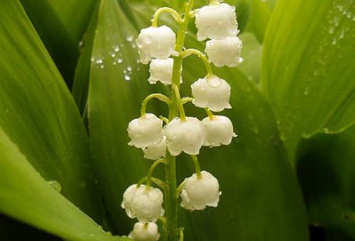 lily of the valley-Mughetto