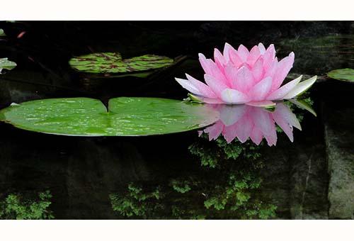 Lotus Flowerr-Fior di Loto