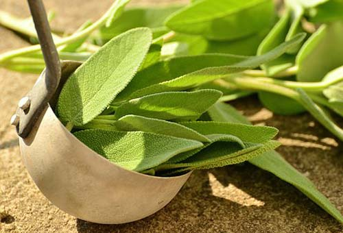 Sage-Salvia