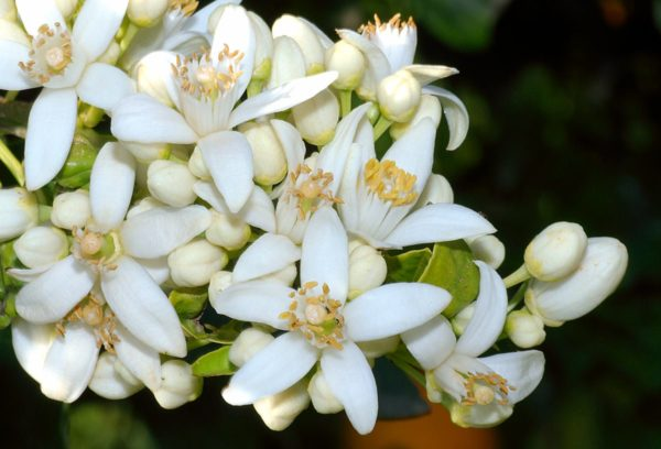 Tunisian Orange Blossom
