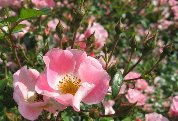 Pink Eglantine