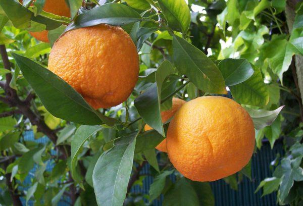 orange calabria