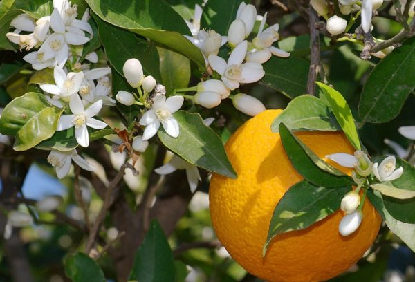 italian bergamot